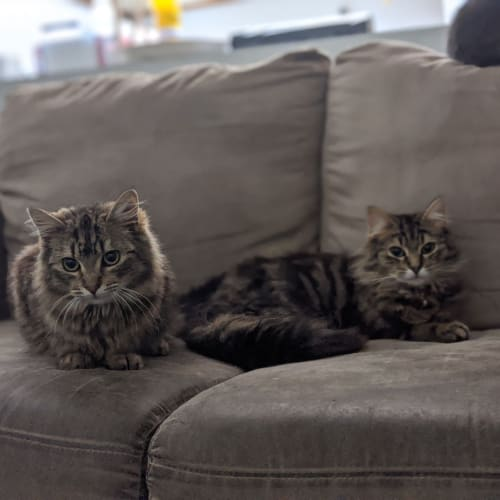Gin & Moss - Domestic Medium Hair Cat