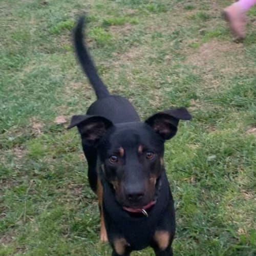 Sutton - Kelpie x Cross breed Dog