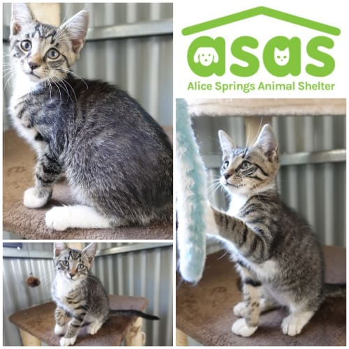 Sage  CT20-260 - Domestic Short Hair Cat