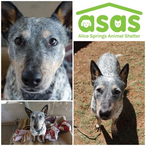 Kofey  DG20-337 - Australian Cattle Dog x Mixed Breed Dog