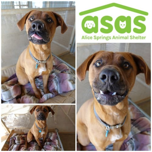 Opal  DG20-341 - Rhodesian Ridgeback x Mixed Breed Dog