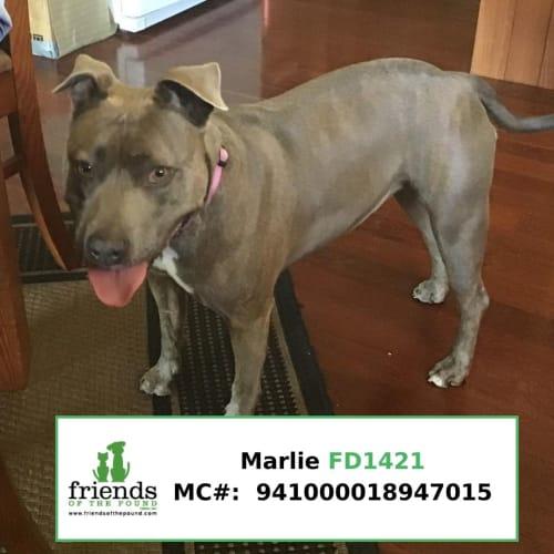 Marlie - American Staffordshire Terrier Dog