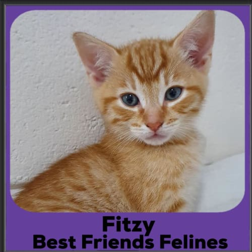 Fitzy  - Domestic Short Hair Cat