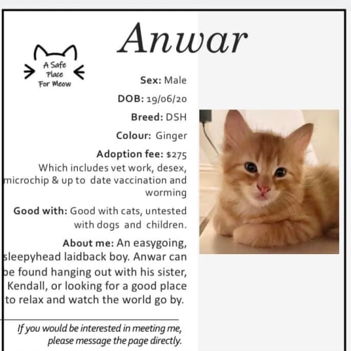 Anwar - Domestic Short Hair Cat