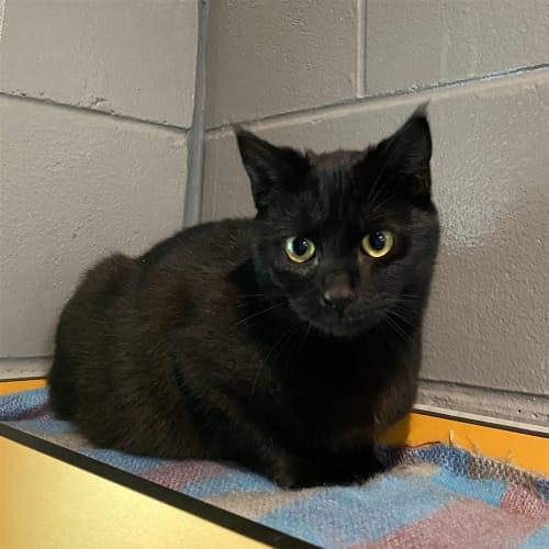 Mojito - Domestic Short Hair x Manx Cat