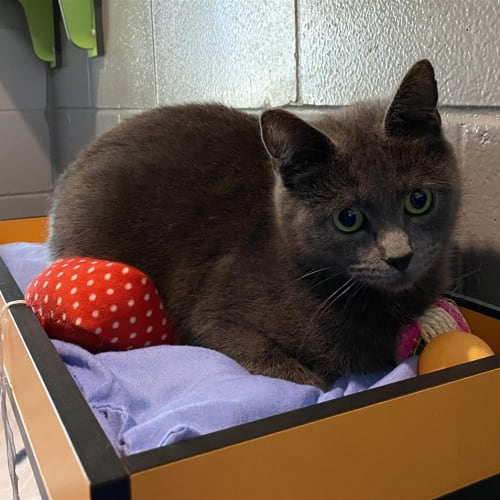 Rosita - Domestic Short Hair Cat