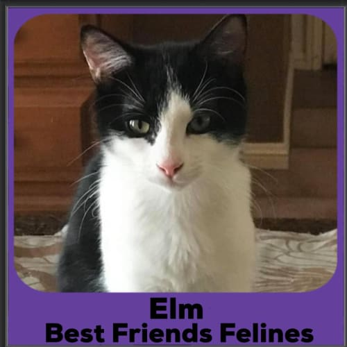 Elm  - Domestic Short Hair Cat