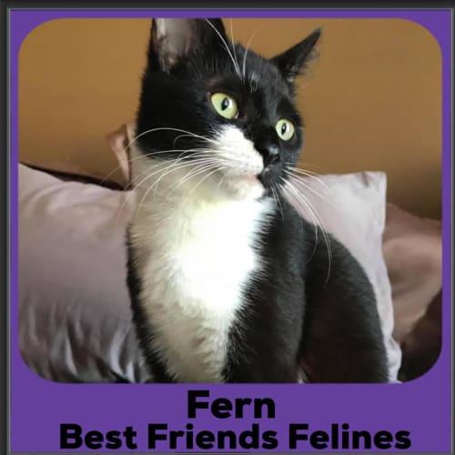 Fern  - Domestic Short Hair Cat