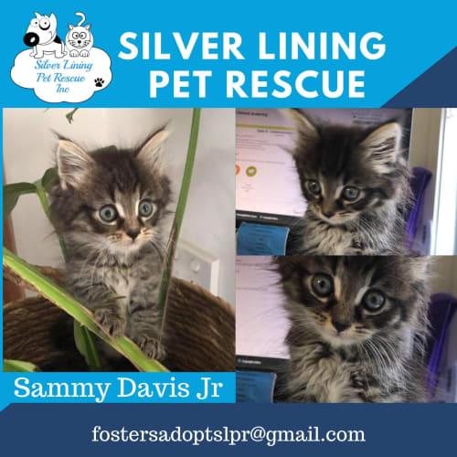 Sammy Davis Jr - Domestic Long Hair Cat