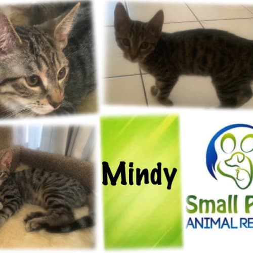 Mindy - Domestic Short Hair Cat