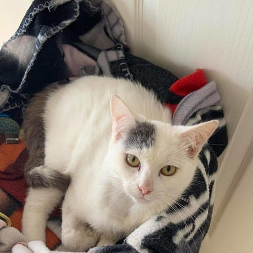 3476 - Snowy - Domestic Short Hair Cat