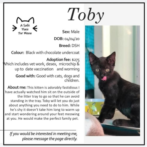 Toby - Domestic Short Hair Cat