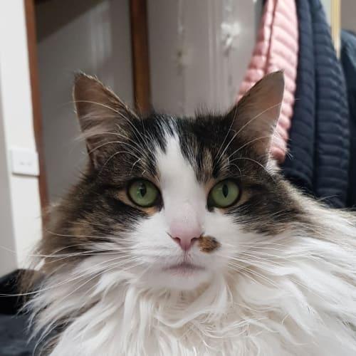Sadie - Domestic Medium Hair Cat