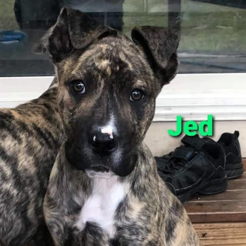 Jed - Mixed Breed Dog