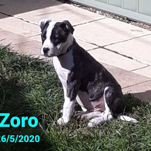 Zoro - Mixed Breed Dog