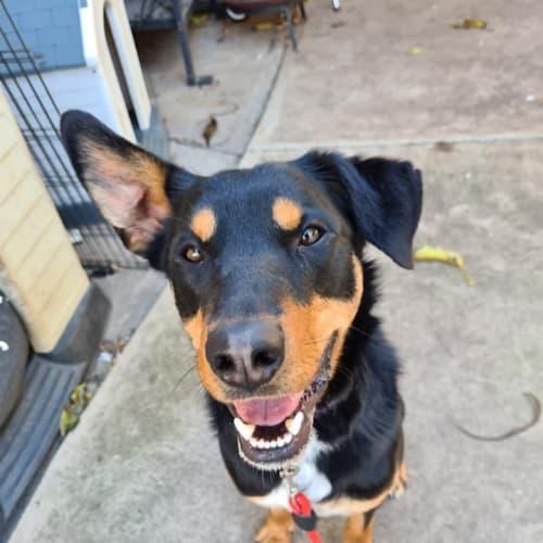 Mason - Kelpie Dog