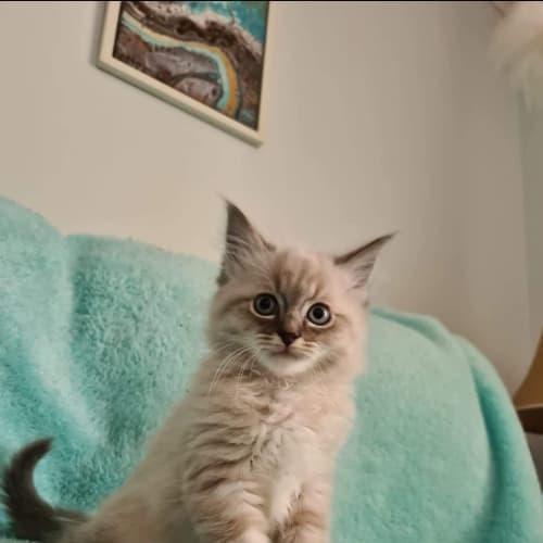 Angel - Ragdoll Cat