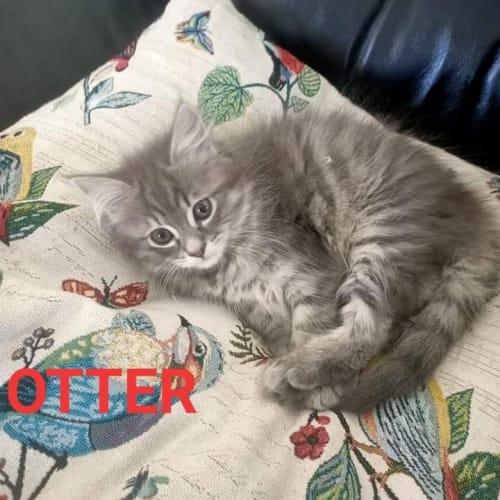 Otter - Ragdoll Cat