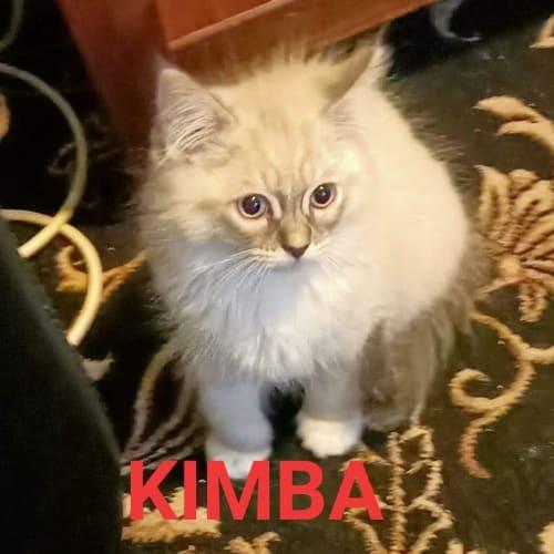 Kimba - Ragdoll Cat
