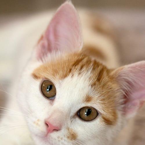 Gypsy - Domestic Short Hair Cat