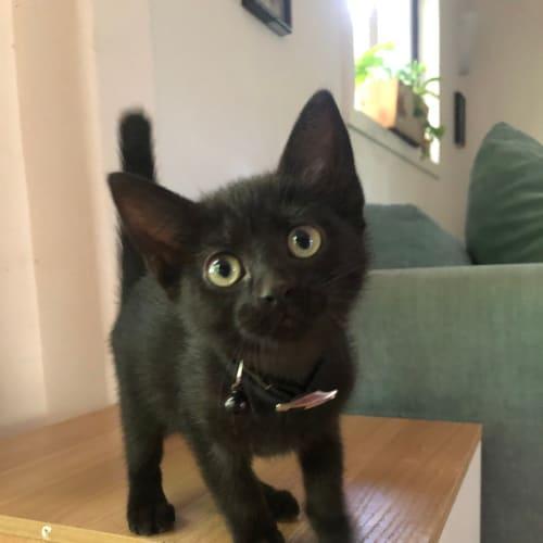 C717 Ripley - Domestic Short Hair Cat