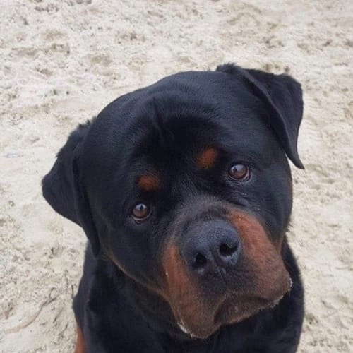 Ghost - Rottweiler Dog