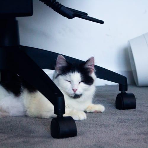 Moo - Located in Preston - Domestic Medium Hair Cat