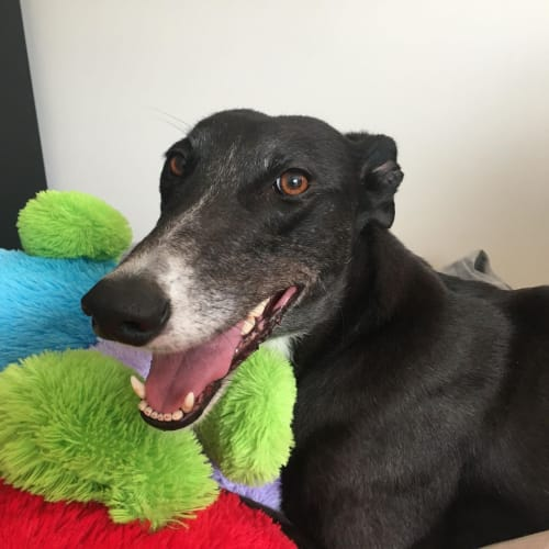 Lady - Greyhound Dog