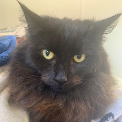Pepsi - Domestic Long Hair Cat