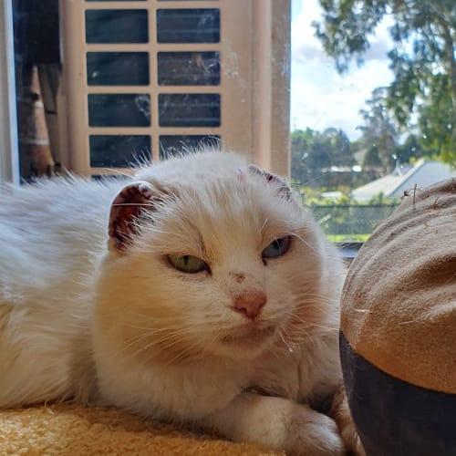 Beans - Domestic Short Hair Cat