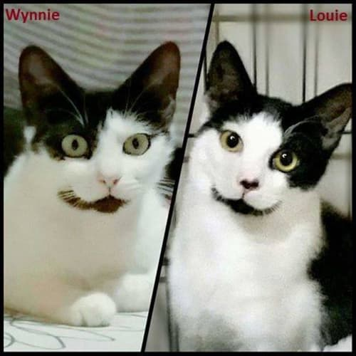 1587/1533 - Wynnie & Louie - Domestic Short Hair Cat