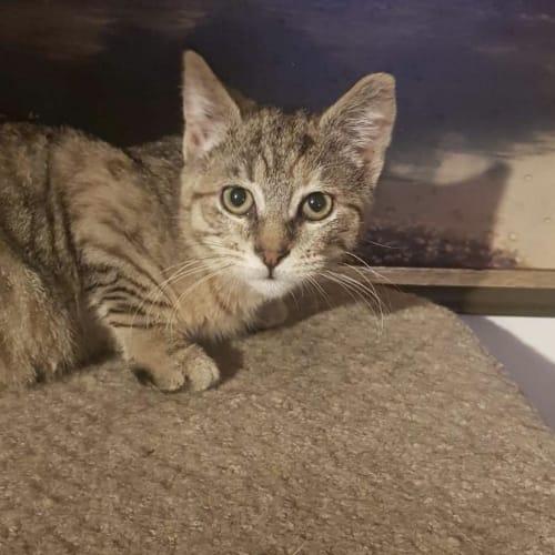 Maya  - Domestic Short Hair Cat