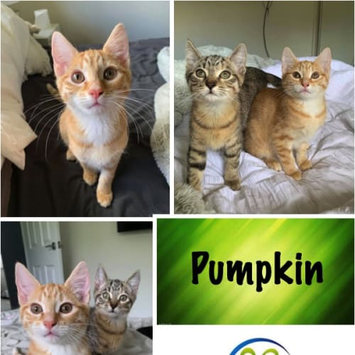 Pumpkin - Domestic Short Hair Cat