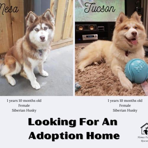 Mesa & Tucson - Siberian Husky Dog