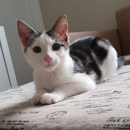 Reggie - Domestic Short Hair Cat