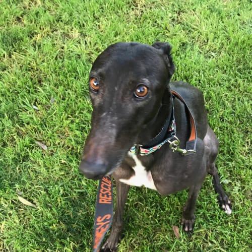 Tilly   Melbourne  - Greyhound Dog