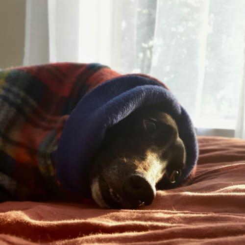 Maddy  Melbourne - Greyhound Dog