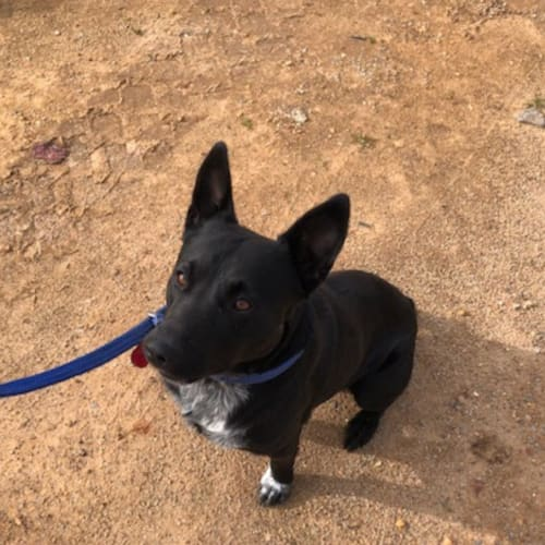 Jax - Australian Stumpy Tail Cattle Dog x Cross breed Dog