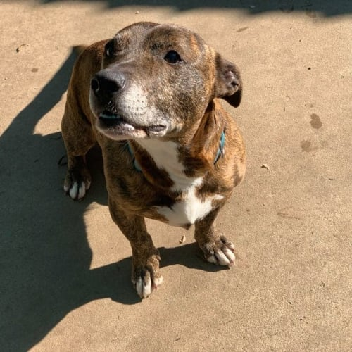 **Foster Carer Needed** Tiger - Staffordshire Bull Terrier x Cross breed Dog