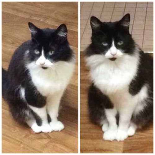 Tom Tom - Domestic Medium Hair Cat