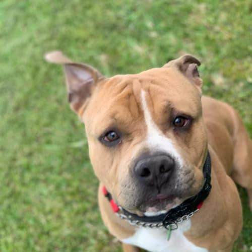 Zeus - Staffy Dog