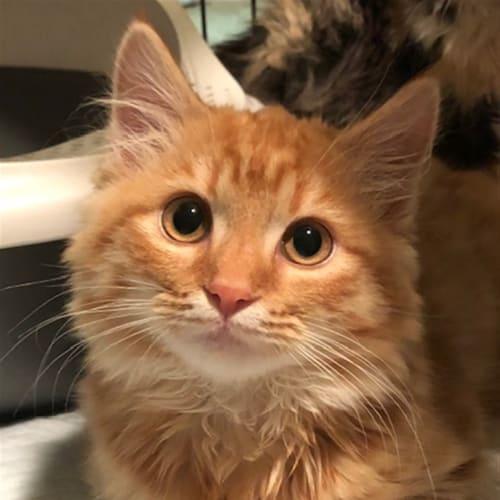Davie - Domestic Longhair Cat