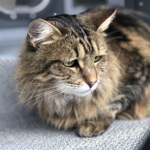 Lana - Domestic Medium Hair Cat