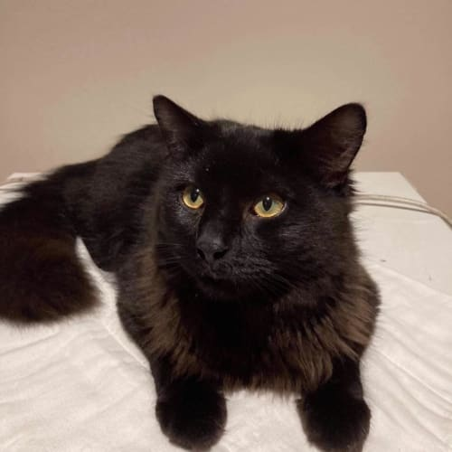 Rossco - Domestic Medium Hair Cat
