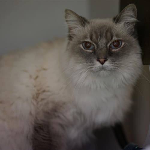 Bella - Ragdoll Cat