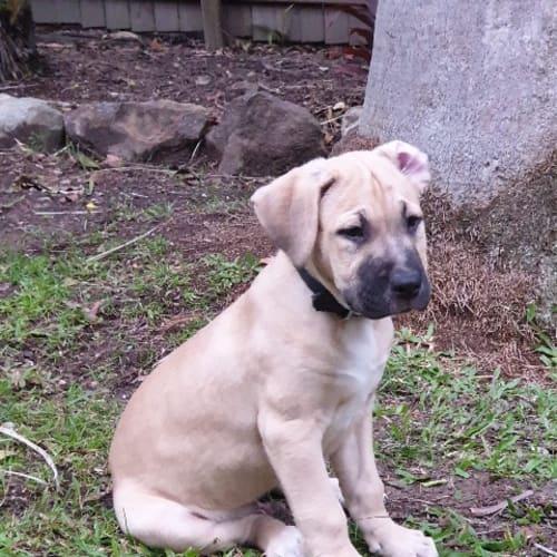 Rex - Great Dane x Mastiff Dog