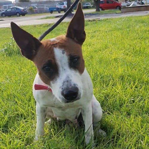 Meg DL2508 - Staffy Dog