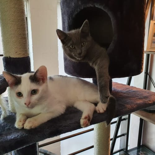 Casper and Baloo - Domestic Short Hair Cat