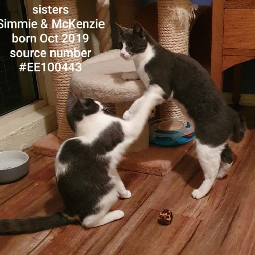 Simmie & McKenzie  - Domestic Short Hair Cat