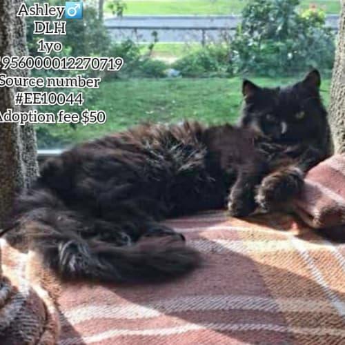 Ashley - Domestic Long Hair Cat